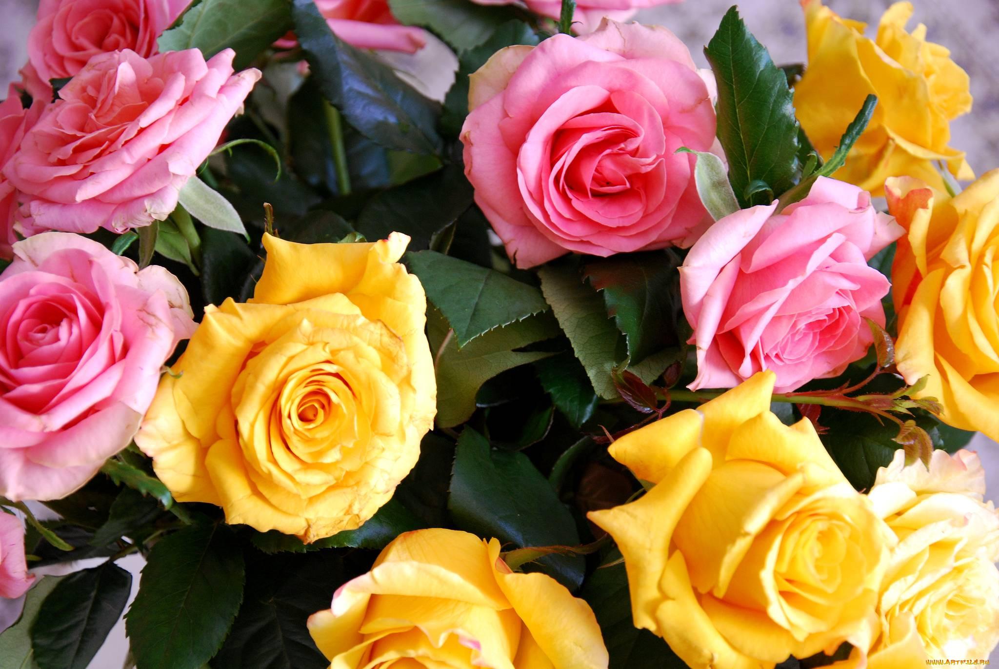 желто-розовые розы картинки вариант водопровода